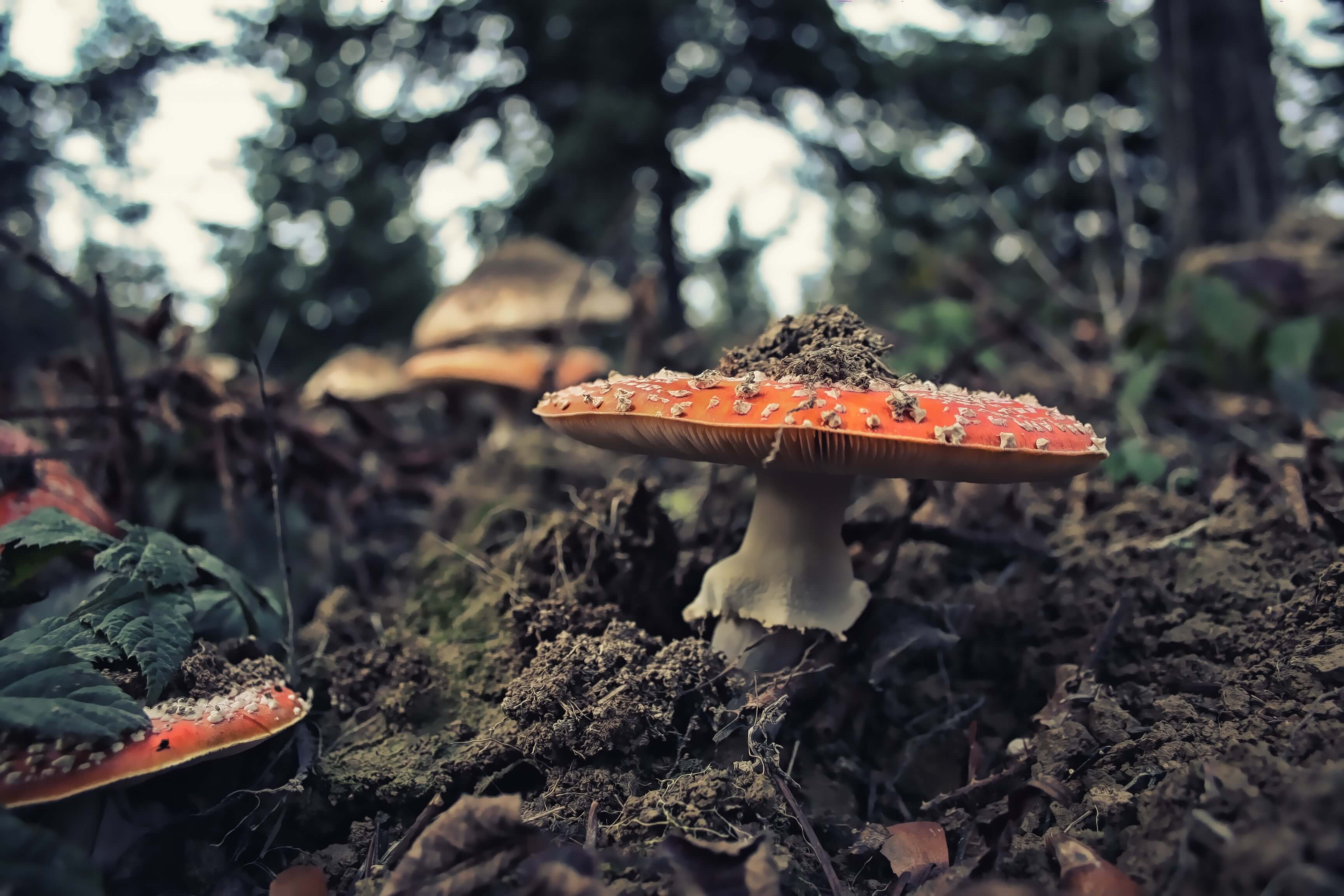Mushroom on the forest floor.