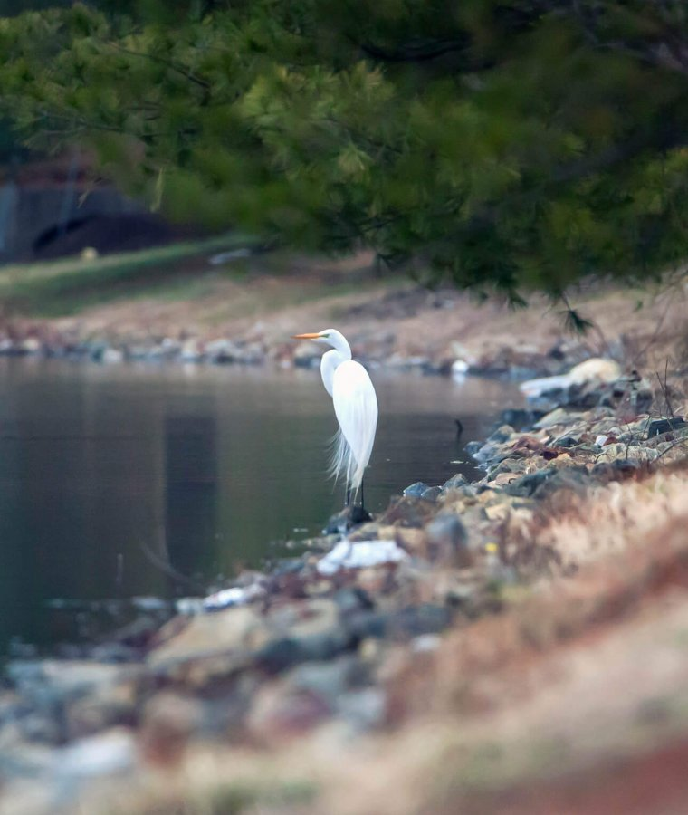 Great Egret by the Lake