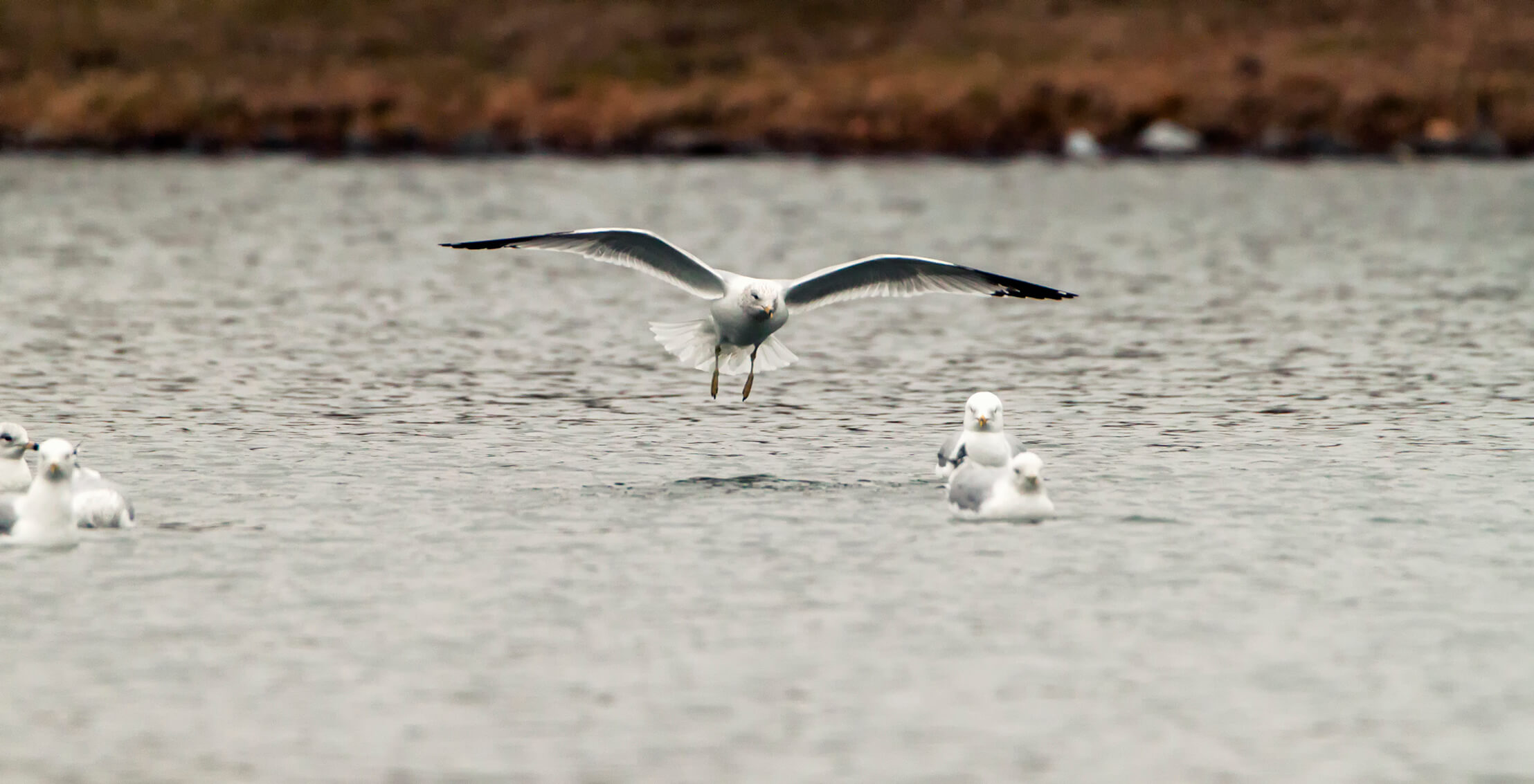 Seagull landing in the water