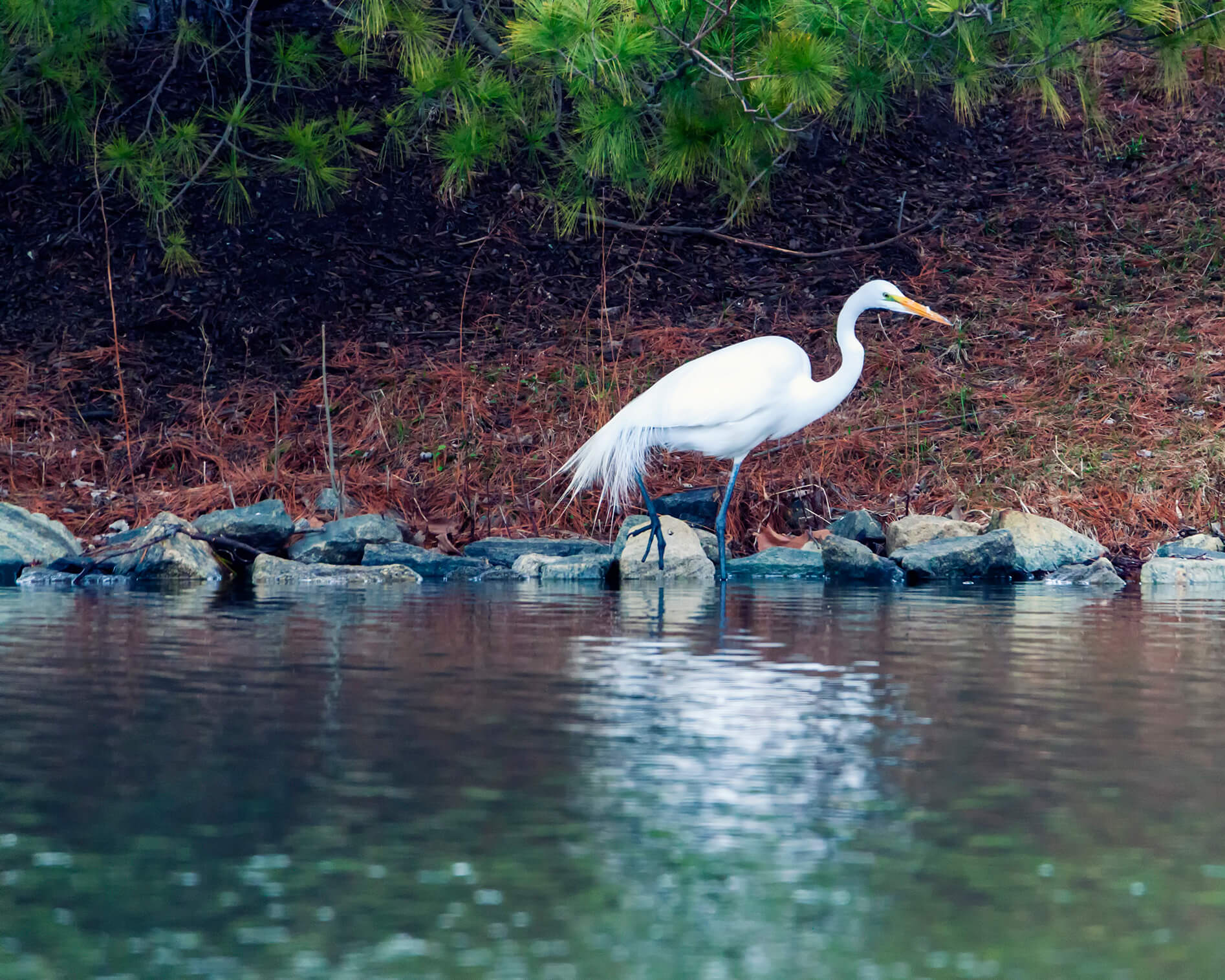 Great Egret prowling