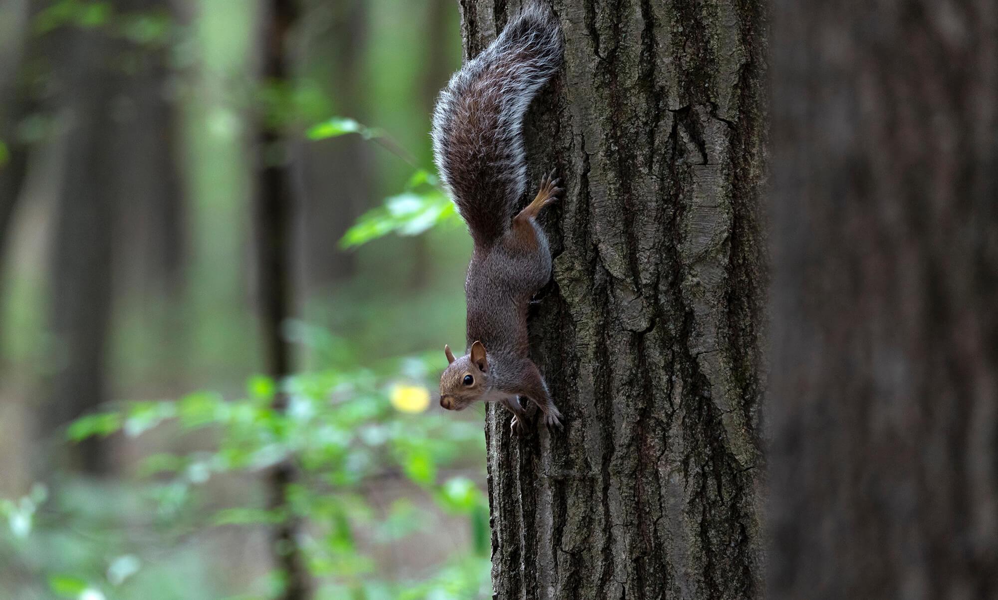 Squirrel vertically facing down