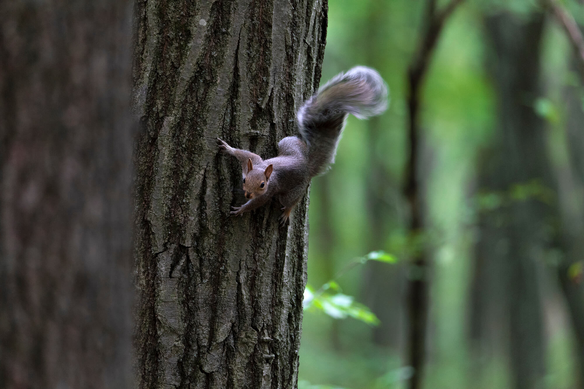 Squirrel vertically facing down, but slightly tilted.