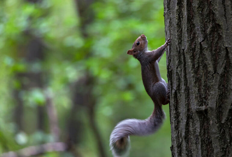 Squirrel pausing for a second from climbing.