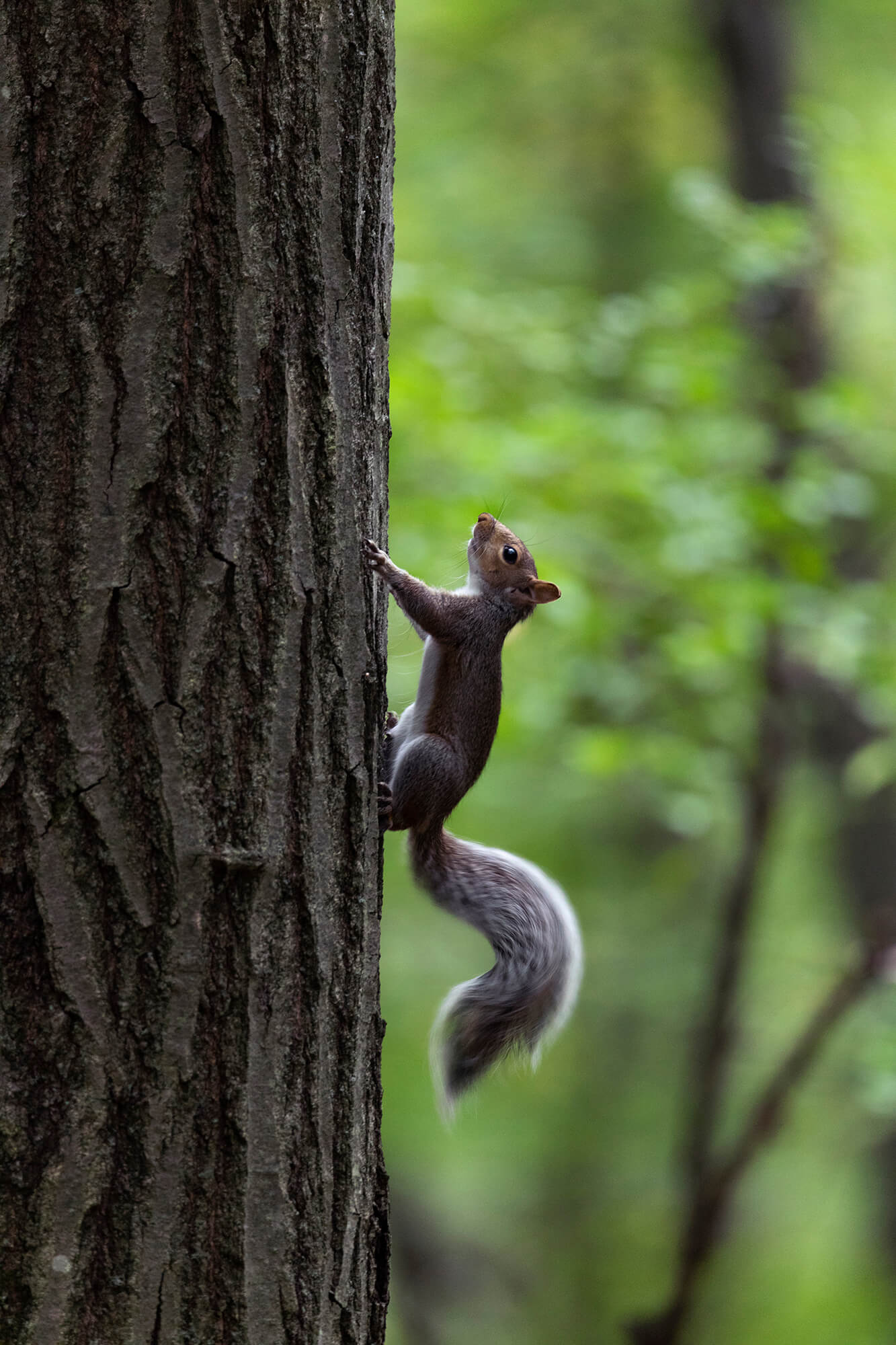 Squirrel climbing a tree.